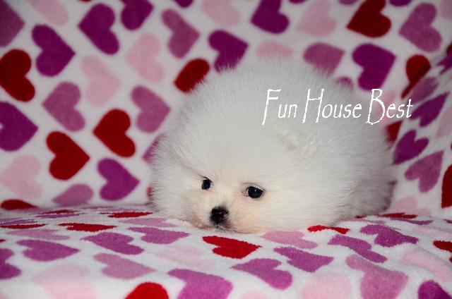 купить мини щенка померанского шпица белого окраса в питомнике