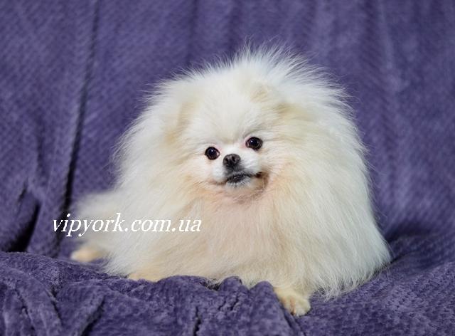 купить в питомнике щенка шпица белого окраса тип мишка (фото,цена,видео)