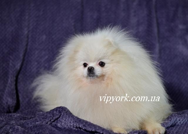 купить щенка шпица бело кремового окраса