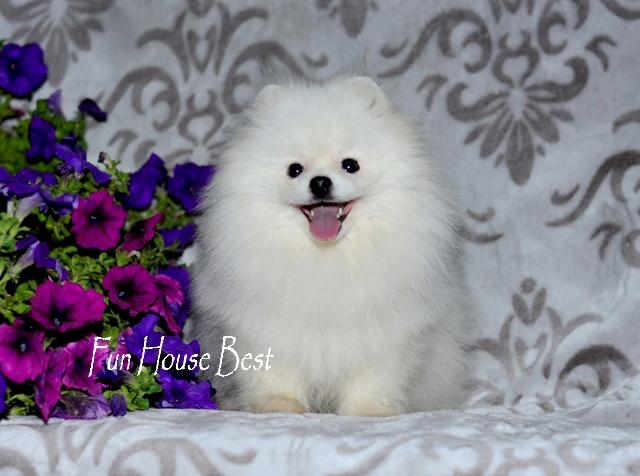 купить мини щенка померанского шпица белого окраса в медвежьем типе (фото цена видео)