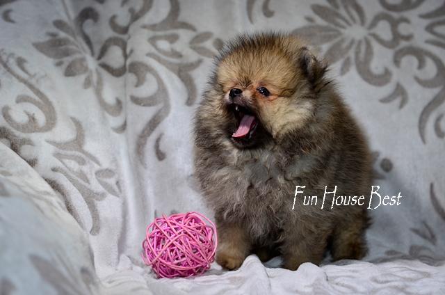 щенокшпиц тип мишка цена купить FunHouseBest