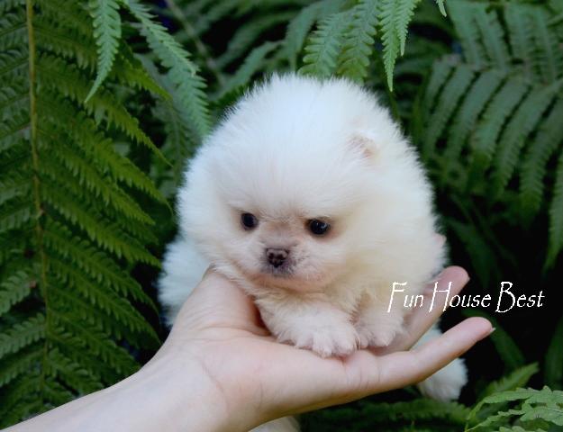 купить мини щенок померанский шпиц белого окраса в медвежьем типе фото цена