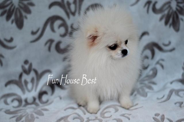 купить мини щенка шпица тип мишка белого окраса