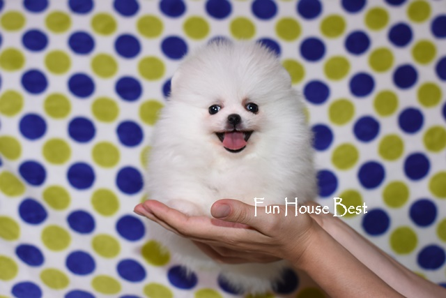 мини щенок померанский шпиц белого окраса