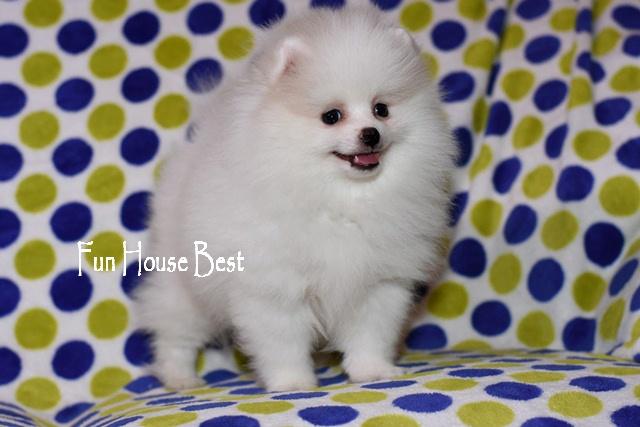 щенок белого померанского шпица видео