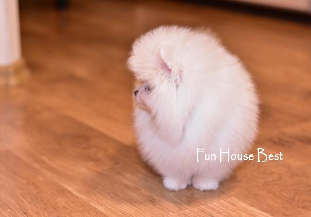 щенок померанский шпиц белого окраса мишка