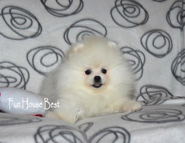 купить щенка мини шпиц белый одесса
