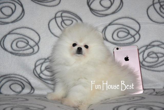 белый щенок померанский шпиц мишка киев одесса