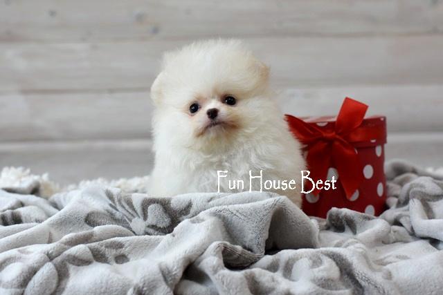 мини щенок померанский шпиц мишка белый одесса