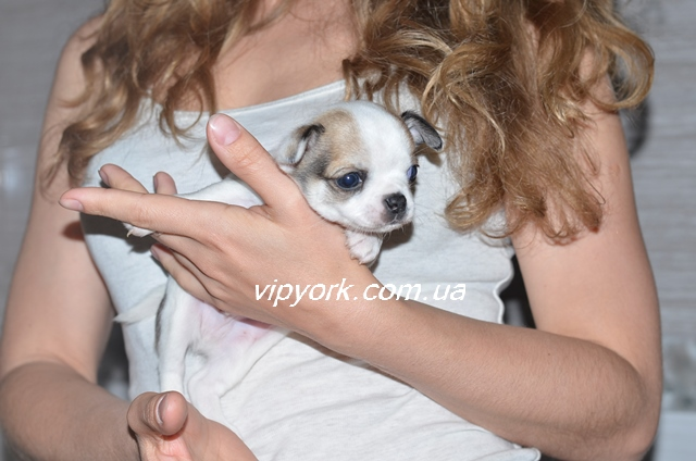 Продажа щенков йоркширского терьера в Москве Купить йорка