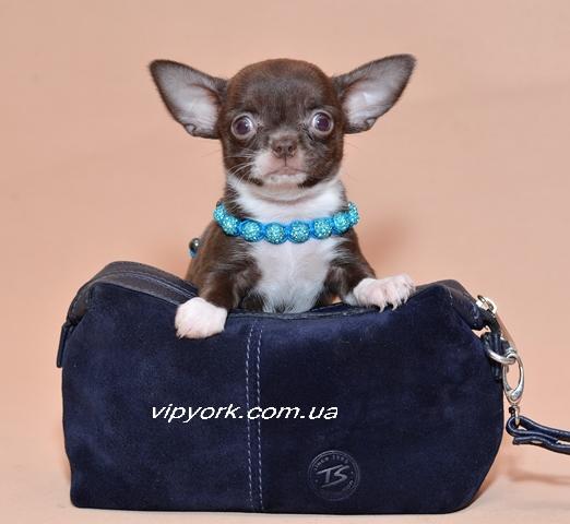 Японский карликовый шпиц описание породы собак фото цена