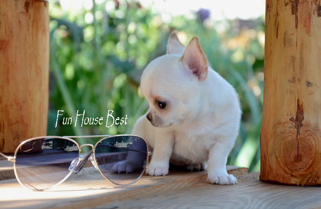 купить супер мини щенок чихуахуа фото цена видео в питомнике fun house best