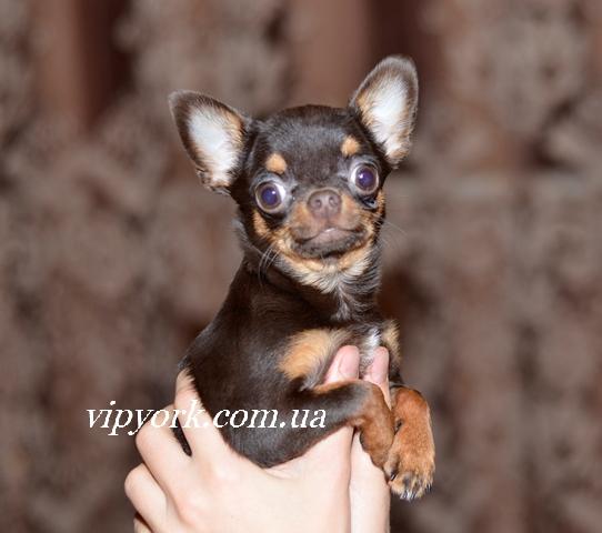 мини щенок чихуахуа шоколадного окраса
