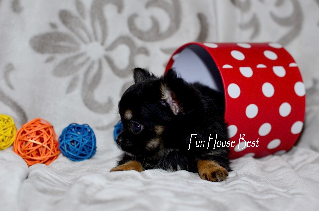 Купить длинношерстного мини щенка чихуахуа тип кобби ...: http://vipyork.com.ua/index.php?doc=168