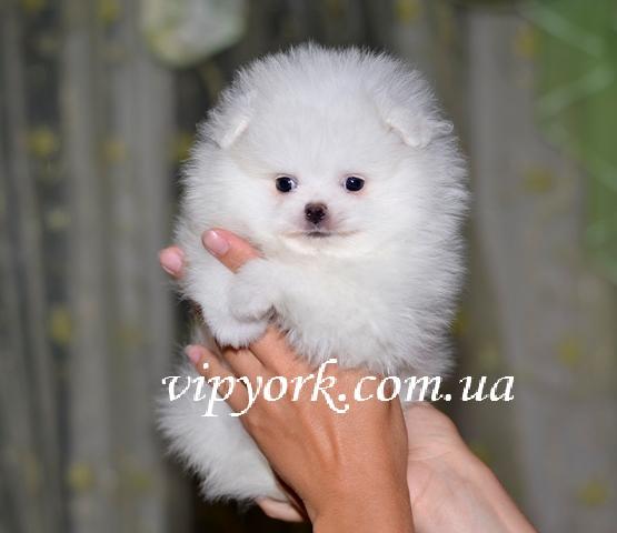В продаже питомника мальчик померанского шпица белого окраса, тип мишка, возраст 2,5 месяца (фото, цена, видео)