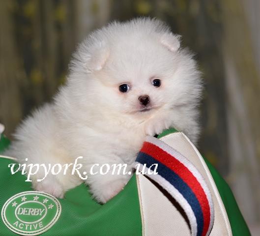 купить щенка померанского шпица белого окраса