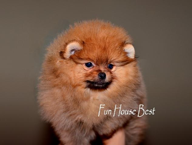мини щенок померанский шпиц оранж окраса тип мишка фото цена видео