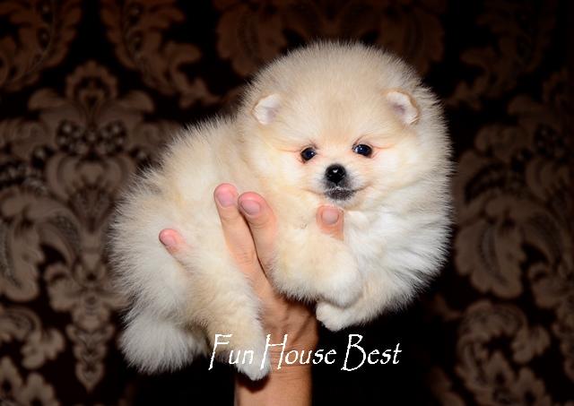 купить мини щенка померанского шпица кремового окраса тип мишка фото цена видео