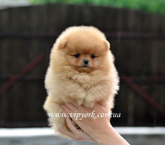 купить щенка померанского шпица тип мишка