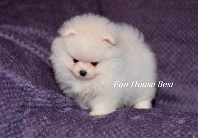 Мини щенок померанский шпиц белого окраса тип мишка