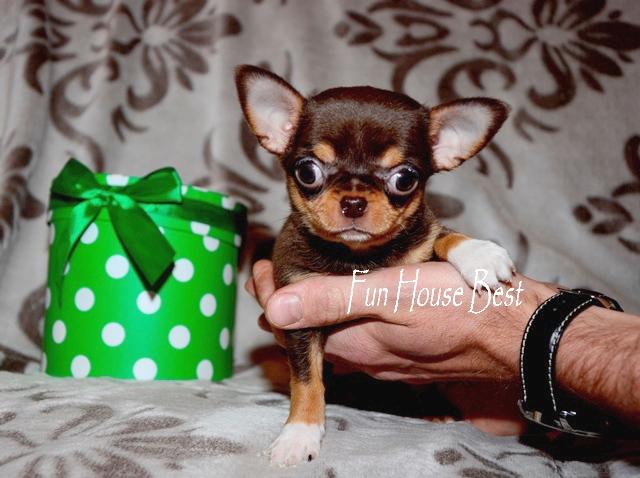 купить экстра мини щенка чихуахуа шоколадного окраса в питомнике