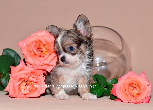 Купить в питомнике длинношерстного мини щенка чихуахуа тип кобби (фото, цена)