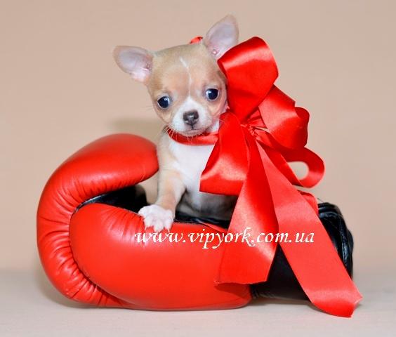 В продаже питомника мини щенок чихуахуа тип кобби, бело - лилового окраса (фото, цена, видео)