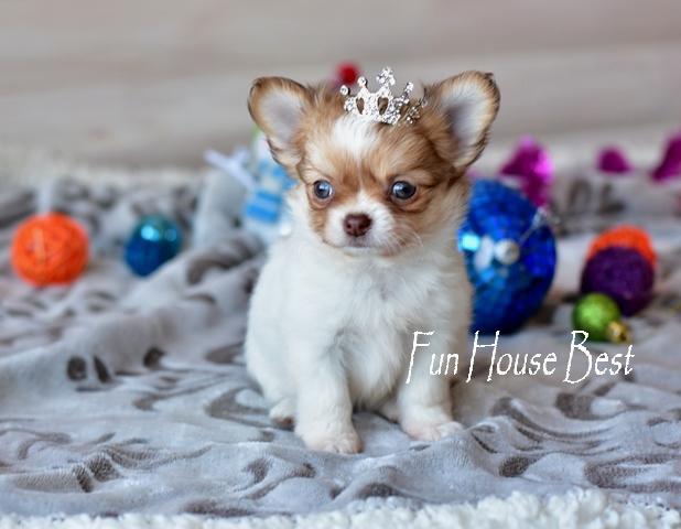купить длинношерстного мини щенка чихуахуа