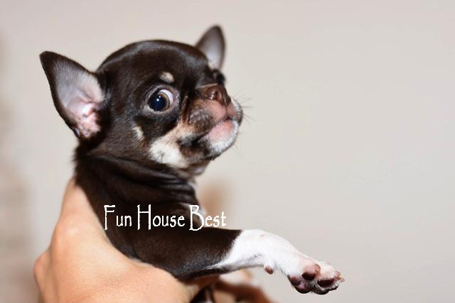 купить шоколадного мини щенка чихуахуа