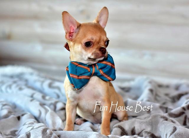 купить мини щенка чихуахуа