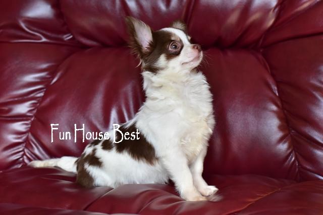 длинношерстный щенок чихуахуа бело шоколадного окраса