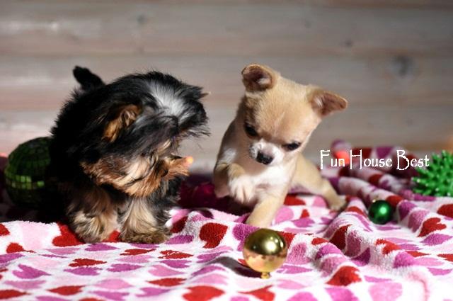 мини щенок чихуахуа харьков