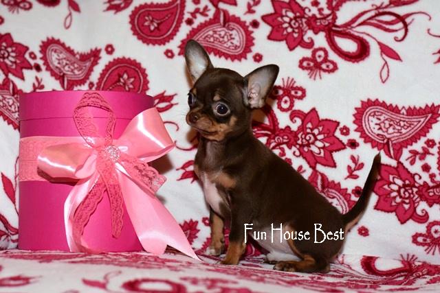 шоколадный щенок чихуахуа