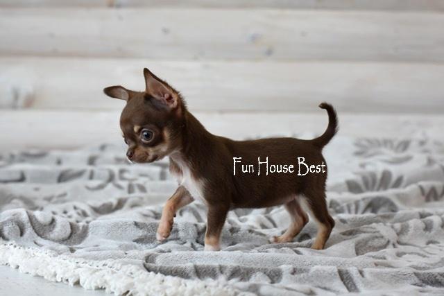 мини щенок чихуахуа купить киев одесса