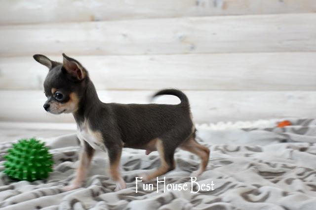 купить мини щенок чихуахуа голубой киев одесса харьков