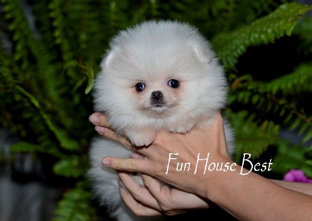 купить мини щенка померанского шпица в медвежьем типе белого окраса фото цена видео