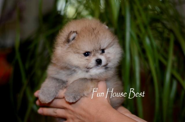 купить мини щенка померанского шпица в медвежьем типе белого окраса