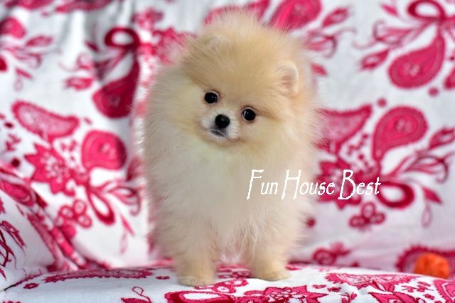 купить мини щенка померанского шпица мишку