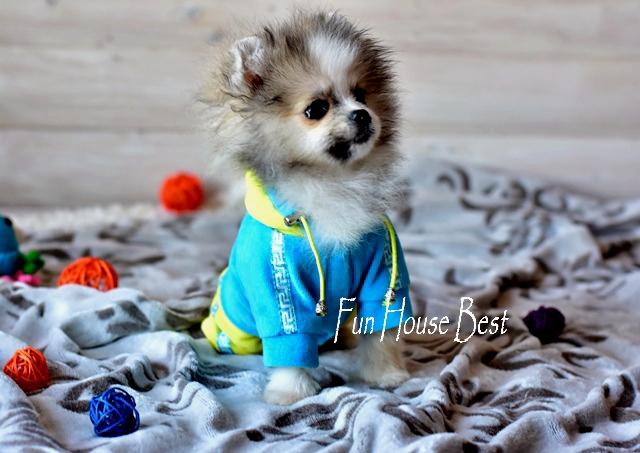 супер мини щенок шпиц фото
