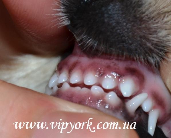 В период смены зубов десна у щенка шпица воспаленные, опухшие, очень важно в