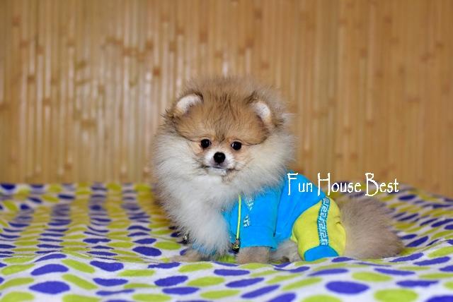 купить мини щенка померанского шпица в медвежьем типе крем окраса