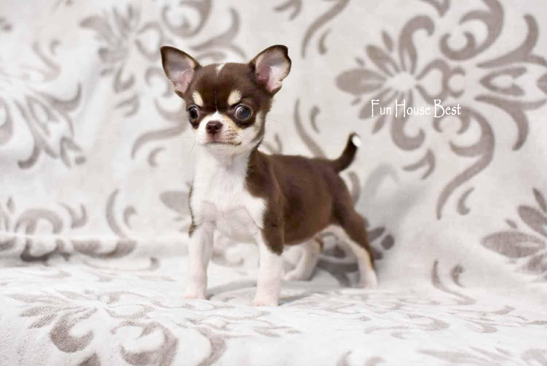 купить щенка чихуахуа шоколадного окраса
