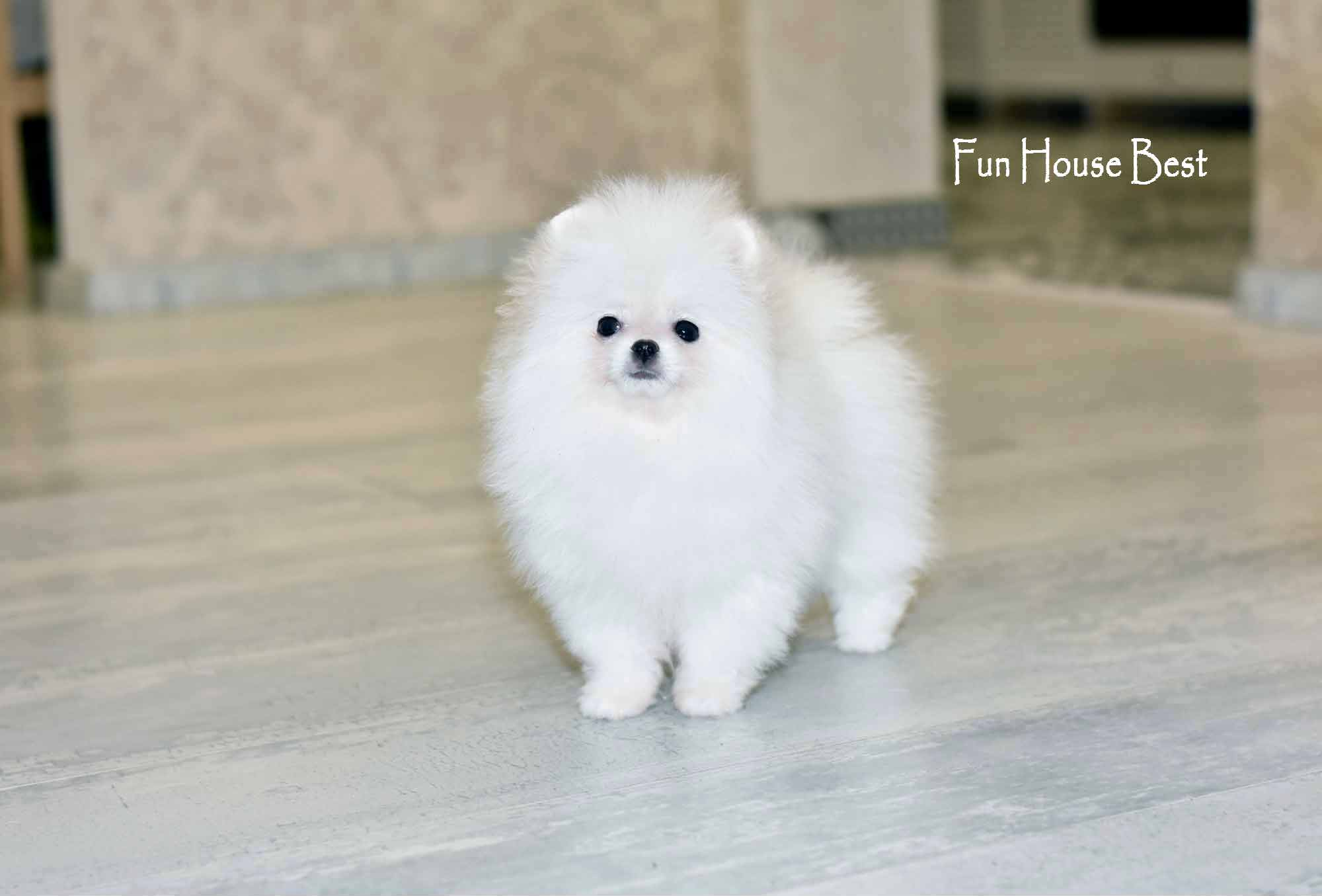 купить щенка шпица мишку белого окраса киев