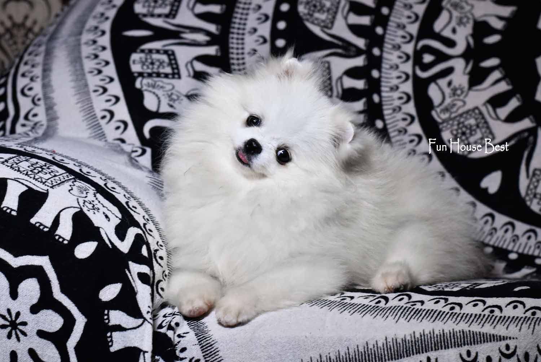 мини шпиц мишка белого окраса  купить в украине
