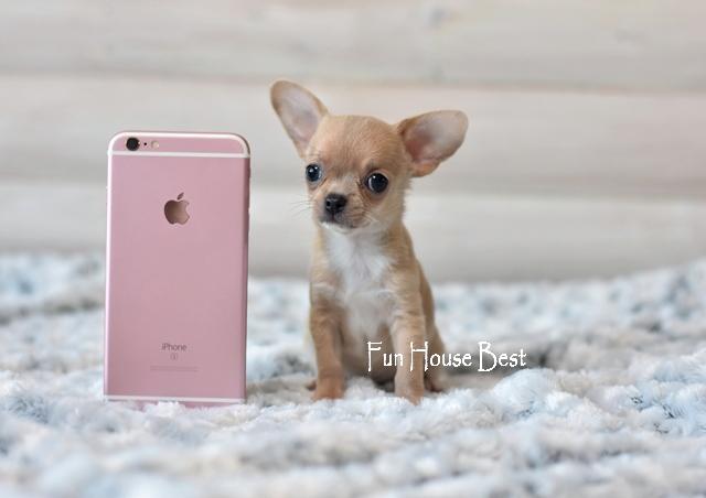 мини щенок чихуахуа
