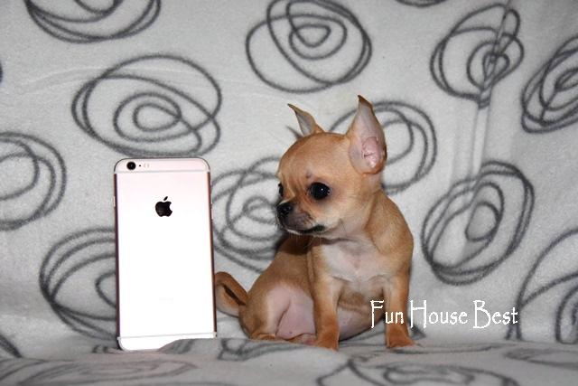 мини щенок чихуахуа купить в украине